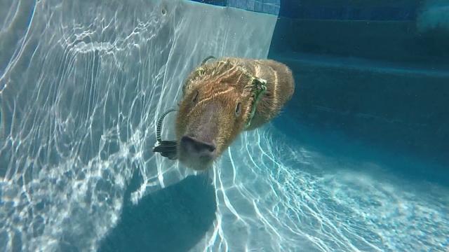 JoeJoe - Capybara