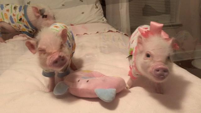 Prissy Pig